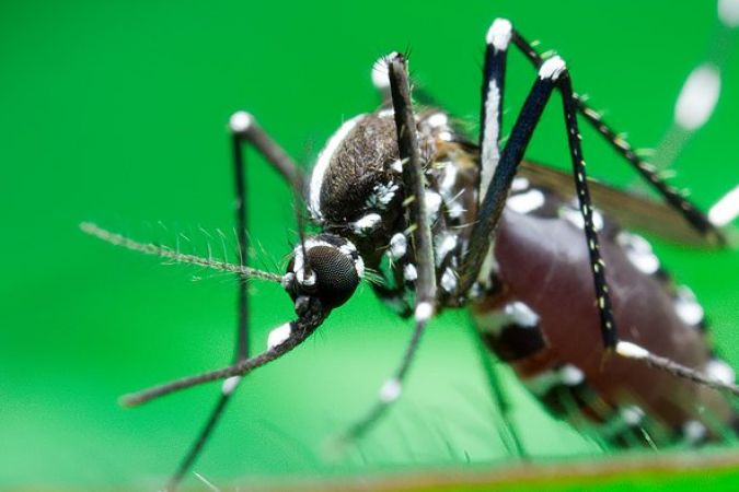 le moustique aedes aegypti © cc-by susanto_ng