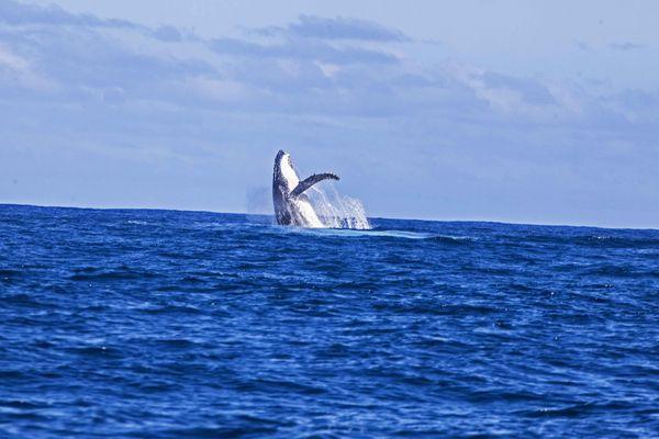 Baleine Vairao 8