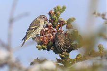 Tarin des pins ou Bec croisé, tous les passereaux semblent apprécier la saveur de la forêt boréale de Saint-Pierre et Miquelon