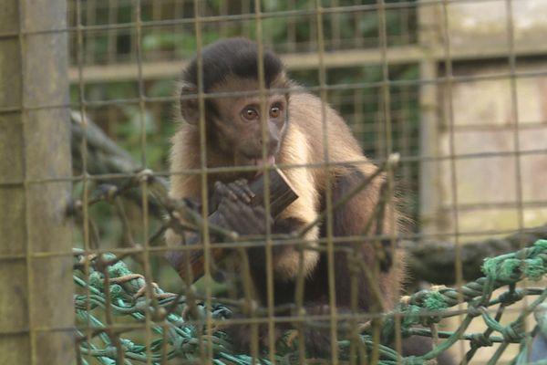 Singe au zoo de Guyane
