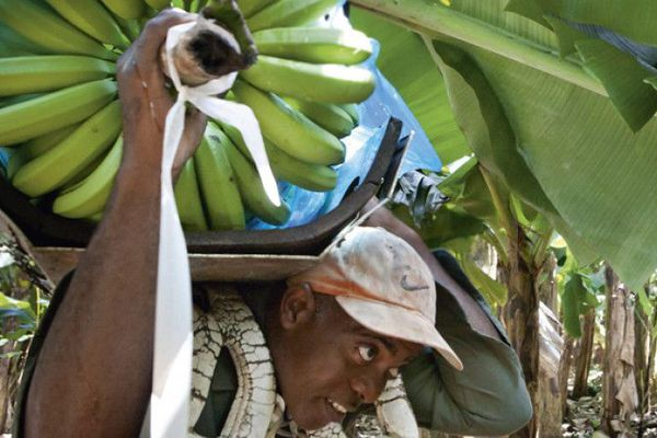 Les ouvriers de la banane à la SA Bois Debout