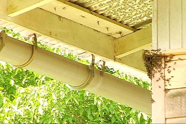 Essaim d'abeilles tueuses à Rémire
