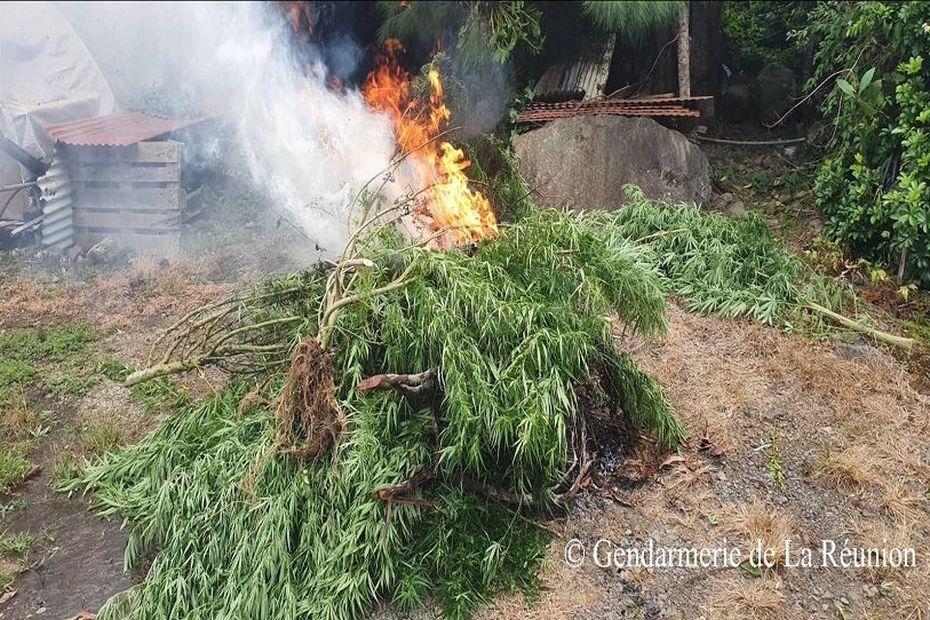 Neuf plantations de zamal détruites durant le week-end - Réunion la 1ère