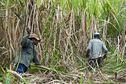 #NousPaysans : [Une histoire de la canne 1/3] La canne à sucre aux Antilles (Martinique et Guadeloupe) et en Guyane