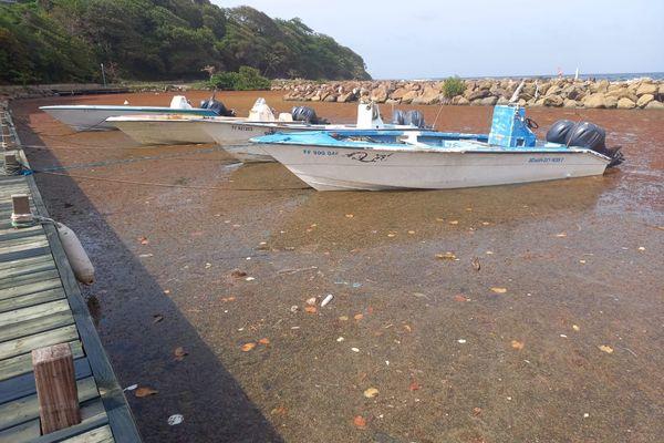 Algues sargasses dans le port du Marigot