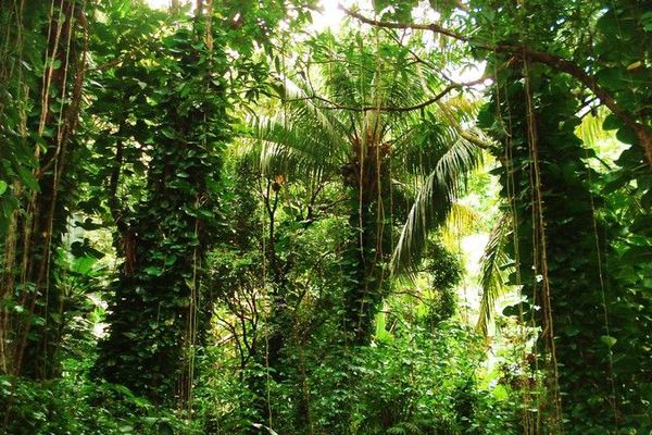 Forêt de Guadeloupe