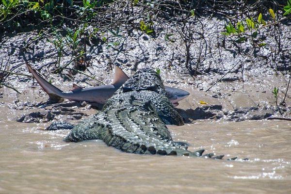 Croco contre requin