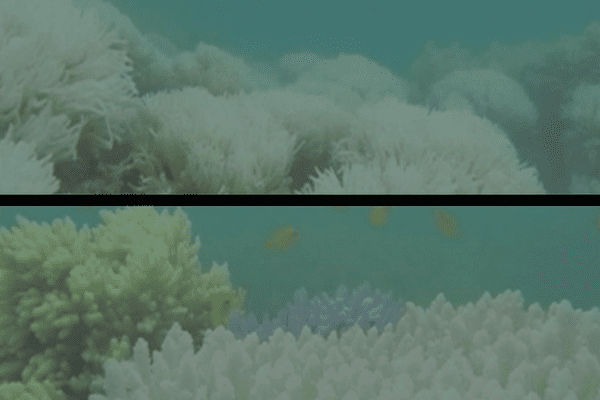 Grande Barrière de corail est en train de disparaître