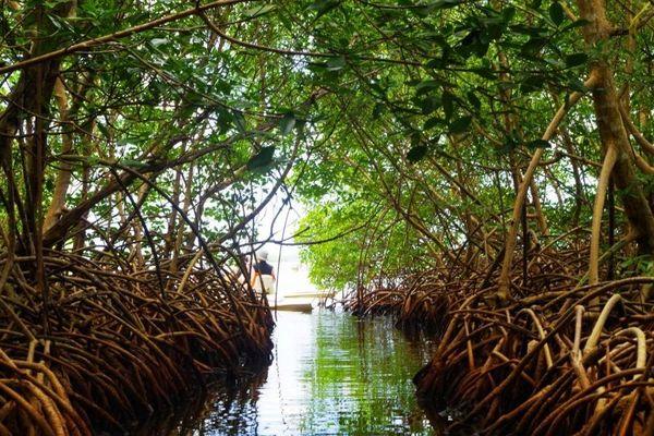 Mangrove de Guadeloupe