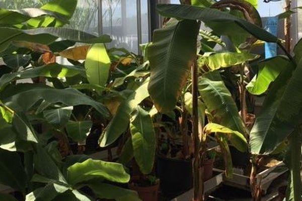 La banane biologique Cavendish, un projet à l'étude au CIRAD
