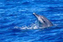 Globice identifie une trentaine de dauphins et enregistre les bruits des cétacés au large de La Réunion.