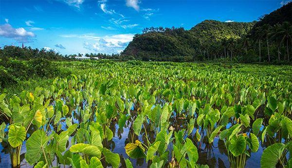 Tarodière Futuna