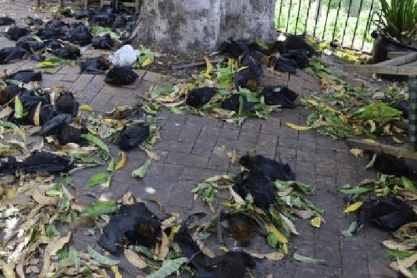 Roussettes mortes Australie