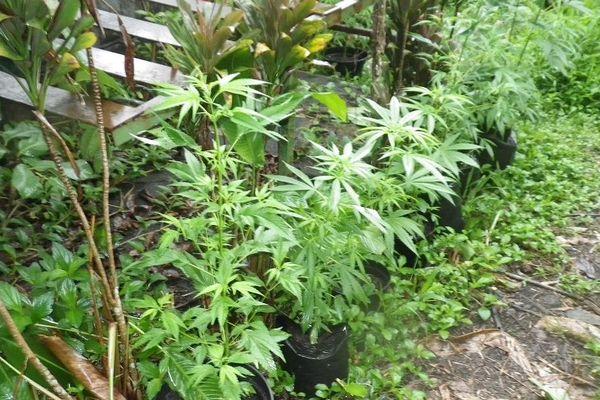 Plants de cannabis saisis et détruits