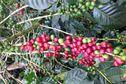 Une passionnante enquête sur l'origine du café en Guyane
