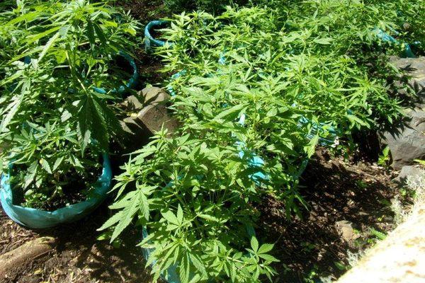 Cannabis Rurutu
