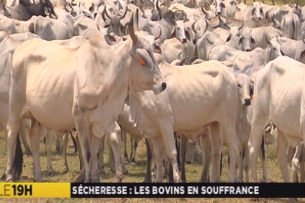 sécheresse: les bovins en souffrance