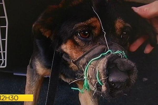 Maltraitance animale : chien muselé recueilli par la SPA du Tampon