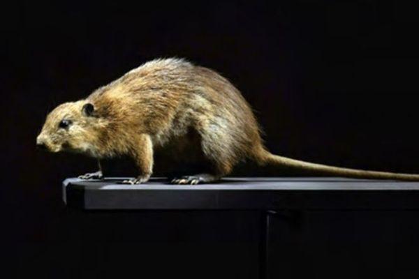 Espèce endémique : le Rat musqué de la Martinique