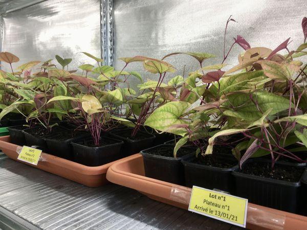 Plants d'ignames