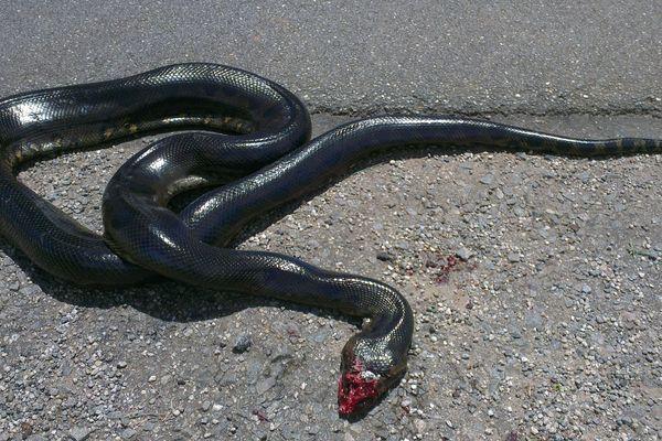 L'anaconda de la Pentecôte