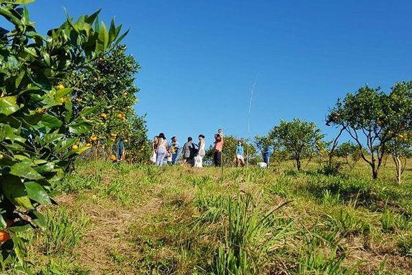 La cueillette des agrumes à Petite Île.