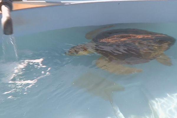 tortue verte à Kélonia