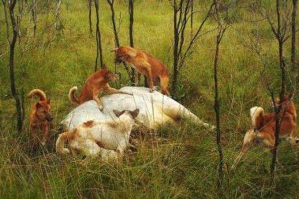chiens sauvages australie