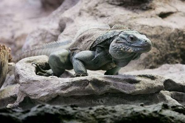 Iguane bleu