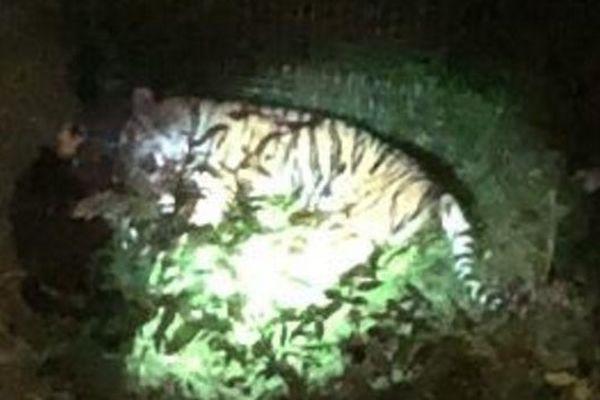 Le tigre a été abattu par son propriétaire