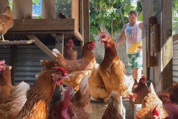 poules pondeuses / rangiroa