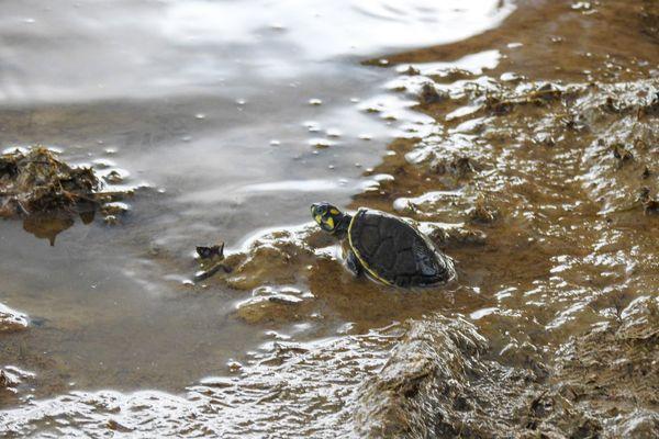 bébés tortues taricayas