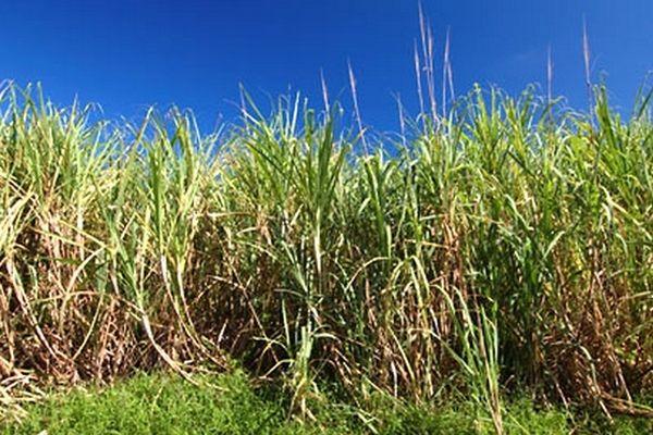 PLO PLB Cirad : canne à sucre