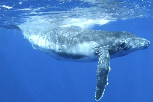 C'est la saison des baleines aux Australes