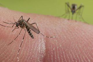 Dengue moustiques