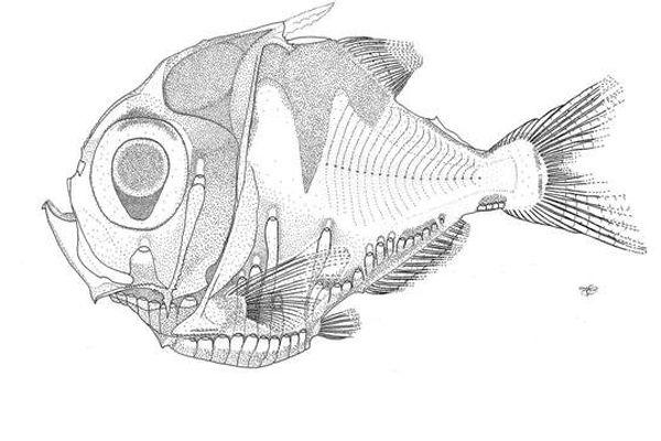 nouvelle espèce de poisson dessin