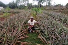 Zaoudjati dans son champ d'ananas. C'est en plantant des ananas, il y a 20 ans  que l'agricultrice a débuté son activité.