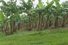 Champ de bananes dans le nord de la Martinique.