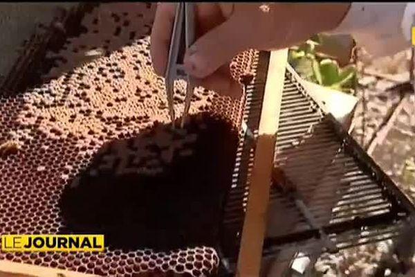 Nouvelle Calédonie : Les ruchers préservés des maladies du monde