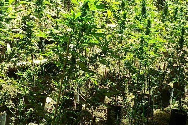 650 plants de cannabis saisis à Huahine et aux Gambier