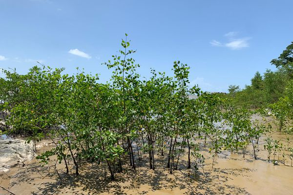 Palétuviers sur une plage de Guyane