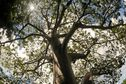 Les baobabs de Mayotte [Wutadjiri]