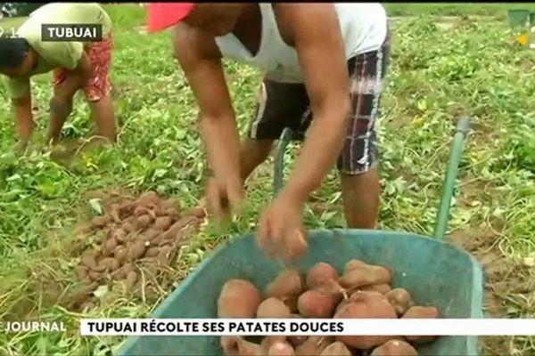 A Tubuai l'heure de la récolte des patates douces a sonné