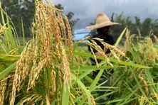 La filière du riz péï a été relancée le 17 décembre 2020 à la Réunion. La première récolte attendue dans une quinzaine de jours au plus tard.