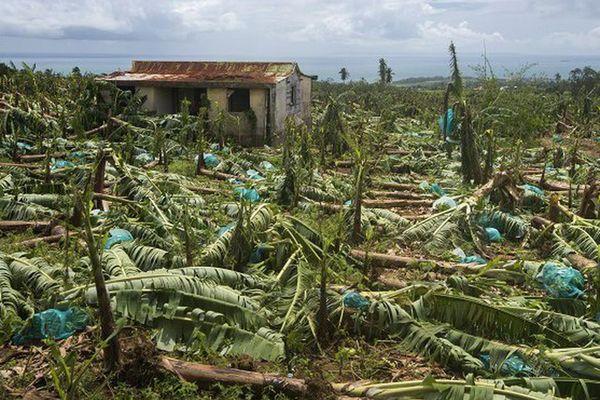 Champs de bananes à Capesterre-Belle-Eau en Guadeloupe après le passage de l'ouragan Maria