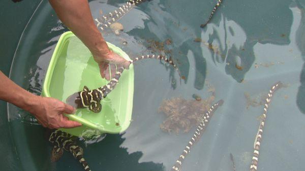 Lâché bébés requins aquarium 2