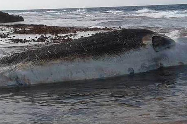 Un baleineau mort retrouvé à Makemo