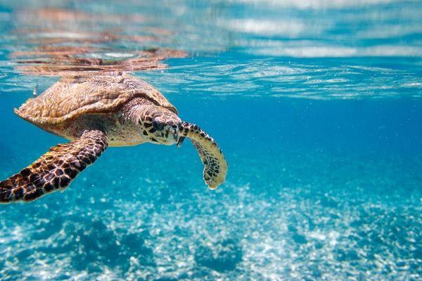 Braconnage des tortues : l'alerte rouge est tirée
