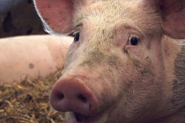 Papouasie : dix morts à cause d'un vol de cochon