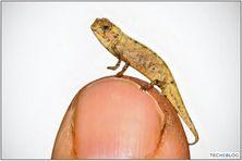 le plus petit caméléon du monde découvert à Madagascar